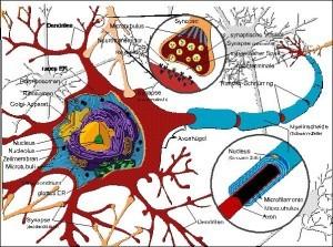 Corea Huntington Nervenzellen